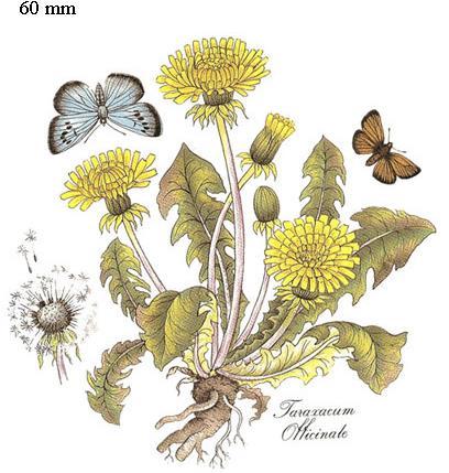 võililled liblikaga