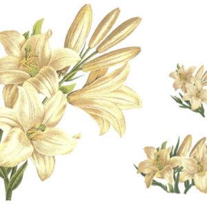 valge-liilia